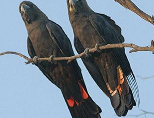 Black Cockatoos