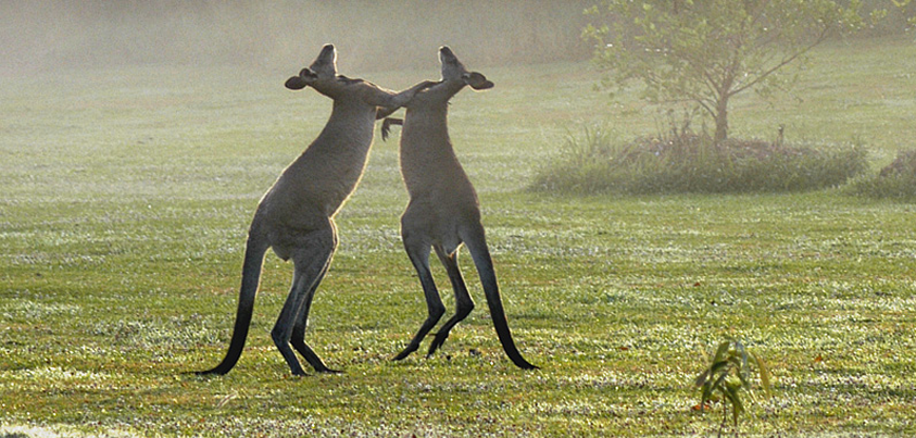 kangaroo-boxing-slider