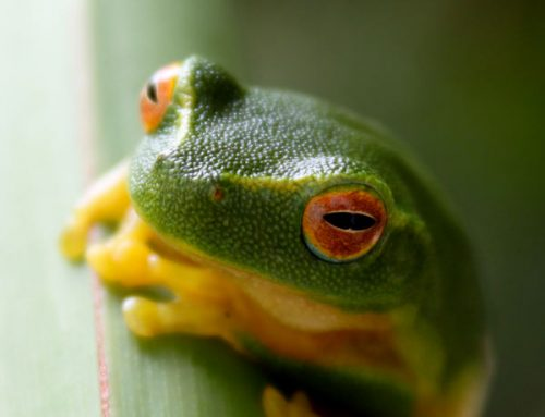 green sedge frog