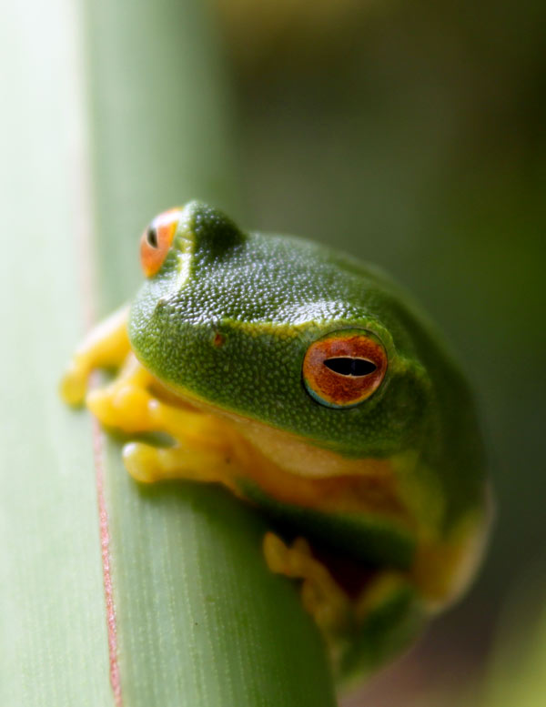 Treefrog-contributed-by-R-Brimblecombe